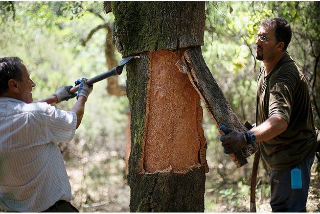 Tháo vỏ ra khỏi thân cây sau khi cưa. Nhìn dễ vậy chứ làm thì không dễ; chỉ được cưa vỏ cây thôi, cưa mỏng thì bể, cưa sâu quá thì gỗ cứng khoèo, khỏi làm nút.