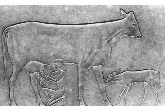 Hình khắc nuôi bò để vắt sữa thời Ai Cập cổ