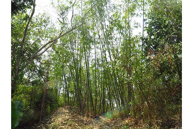 Cocoa-farm-bamboo-groove.jpg